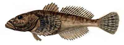 Batrachocottus multiradiatus